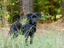 Black Lab puppy adoption outdoor. Black Labrador mixed puppy outdoors animal shelter adoption Royalty Free Stock Photos