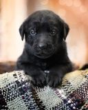 Black lab puppy. Back lab puppy have fun stock image