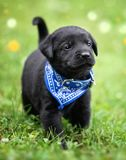 Black lab puppy Stock Images