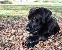 Black lab puppy biting on a pine corn. Black lab puppy laying in leafs biting on a pine corn. Pretty face on a cute puppy. Outside enjoying the sunny day out Royalty Free Stock Images