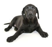 Black Lab Puppy. Cute little Black Lab puppy laying on a white background Royalty Free Stock Image