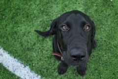 Black Lab puppy eyes Stock Images