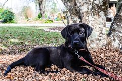 Black lab puppy laying in leafs. Pretty face on a cute puppy. Outside enjoying the sunny day out Stock Image