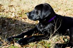 Black lab puppy looking to the side. Purple collar. Fall leaves in the background. Plenty of room to write something on the side of the picture Stock Images