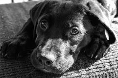 Black lab puppy lovable eyes. Black lab puppy turns into black and white picture lovable eyes staring up at you. Brings you love and enjoy from the love of a pet Stock Images