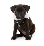 Black Lab Puppy Wearing a Bowtie Stock Photo