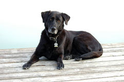 Black Lab Rests on Deck. Aging black labrador retriever with graying chin rests on dock Royalty Free Stock Image