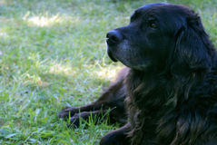 Black Lab. A black lab rests on the grassy lawn Stock Image