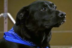 Black lab. Riley the black lab has his blue bandana on for picture day Royalty Free Stock Photo