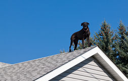 Black Lab on the Roof. A black lab barking from the peak of the roof of his owners house providing security royalty free stock images