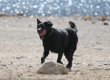 Black lab. Running with tongue out Royalty Free Stock Photography