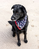 Black lab on sand wearing American flag bandana Stock Photography
