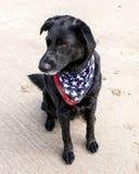 Black lab on sand wearing American flag bandana Stock Photography