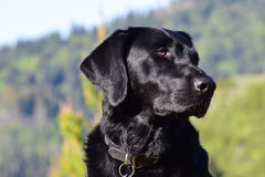Black Lab at the Sawtooths. Sullivan, Black Lab. 6 years old. In front of the Sawtooth Mountains overlook Stock Photos