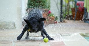 Black lab shaking off water Royalty Free Stock Images