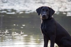 Black Lab. A black lab sitting next to a pond Stock Photo