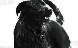 Black lab. A black lab stops to pose after taking a swim Royalty Free Stock Image