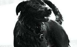 Black lab Royalty Free Stock Image