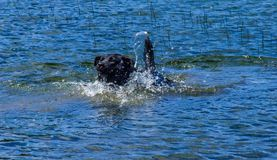 Black lab swimming in a lake, Alberta, Canada. Black lab swimming in blue lake with water trails coming off her tail Royalty Free Stock Images