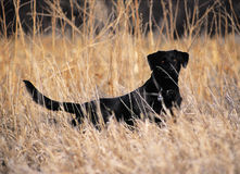 Black Lab in tall grass Royalty Free Stock Image