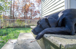 Black lab waits by the door Royalty Free Stock Photo