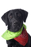 Black Lab on White with Colorful Bandanas Royalty Free Stock Photo