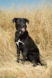 Black Laborador Portrait. Black Labrador sitting in grassy field royalty free stock photo
