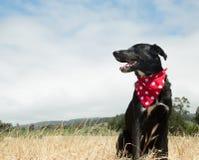 Black Laborador Portrait. Black Labrador sitting in grassy field wearing red and white polka dot bandana stock photos
