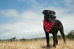 Black Laborador Portrait. Black Labrador standing in grassy field wearing red and white polka dot bandana Stock Images