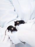 Black laboratory mice Stock Images