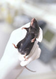 Black laboratory mouse immobilized in a gloved hand Royalty Free Stock Images