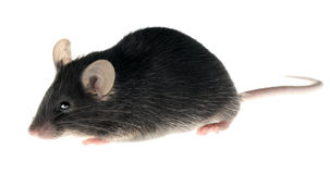 Black laboratory mouse, isolated stock photography
