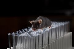 Black lab mouse play on tubes stock photo