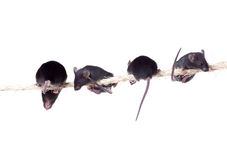 Black laboratory mouse with three pups on the rope.  on Royalty Free Stock Image