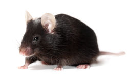 Black laboratory mouse on white background royalty free stock photos