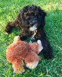 Black Labradoodle Puppy Royalty Free Stock Photography