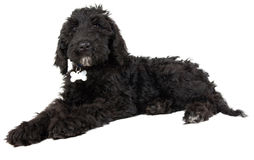 Black Labradoodle puppy dog Stock Photo
