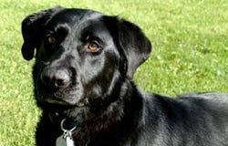 Black labrador Stock Photos