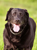 Black labrador Royalty Free Stock Images