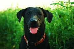 Black Labrador Stock Photos