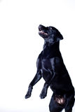 Black labrador. Begging on white background Stock Images