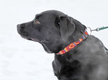 Black Labrador Royalty Free Stock Image