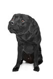 Black Labrador Stock Photo