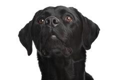 Black Labrador Stock Image