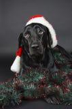 Black labrador Royalty Free Stock Images
