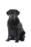 Black Labrador. A black Labrador Retriever sitting and staring. Image isolated on white background Royalty Free Stock Photos