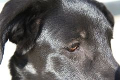 Black labrador. Detail of the young black labrador Royalty Free Stock Images
