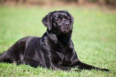 Black labrador Stock Photo