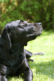 Black Labrador. Dog close up with green backdrop and shallow focus Royalty Free Stock Images