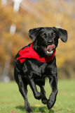 Black Labrador action Stock Images